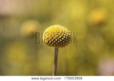 Yellow Craspedia Billy Balls Flower
