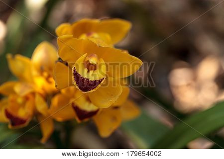 Yellow Cymbidium Orchid Flower