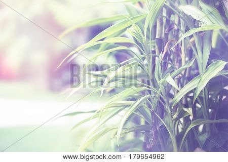 Natural background of green leaves. Background leaves green. Dracaena sanderiana