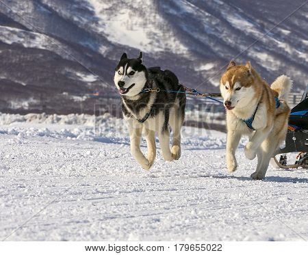 dogs team running in the snow on Kamchatka