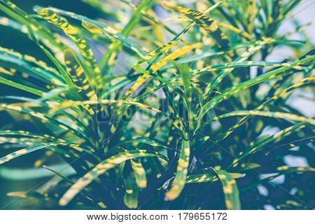 Natural background green leaves. sunlight leaf. Codiaeum variegatium (L.) Blume plant