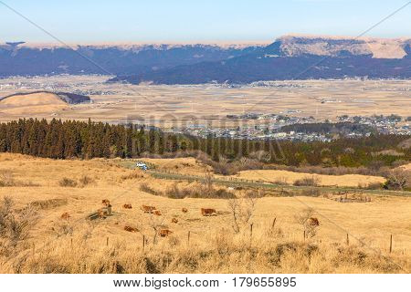 Cow In Field In The Highland Of Aso
