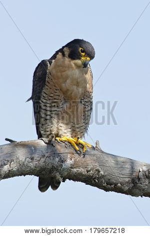 Peregrine Falcon Perched In A Tree - San Diego