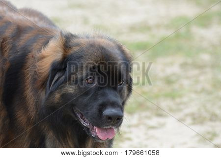 Large leonberger dog with a very cute face.