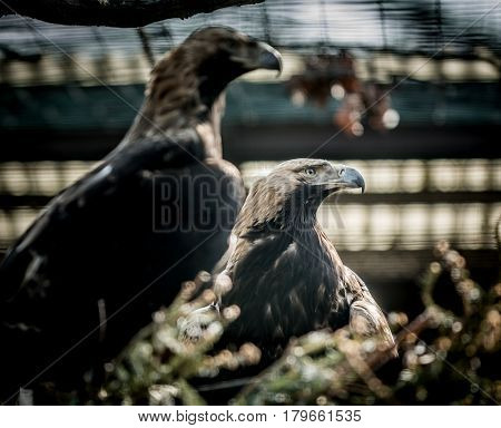 Big Bird Eastern imperial eagle (Aquila heliaca) and tree. Wildlife animal.