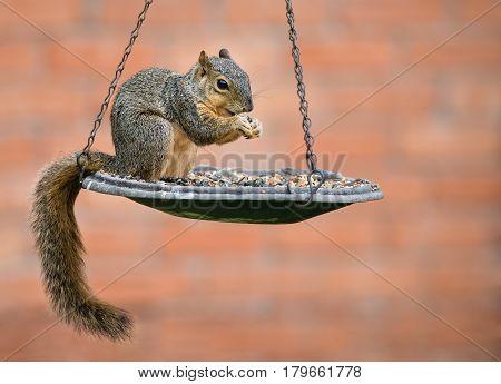 Eastern Fox squirrel (Sciurus niger) eating seeds from bird feeder
