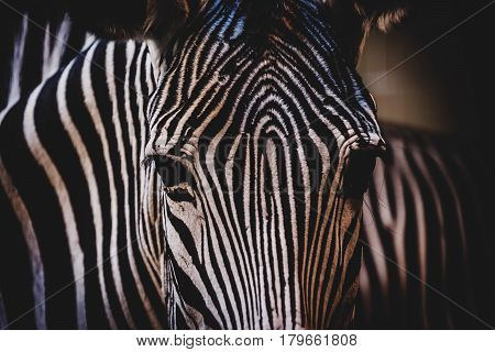 Head of Grévy's zebra (Equus grevyi). Wildlife animal.