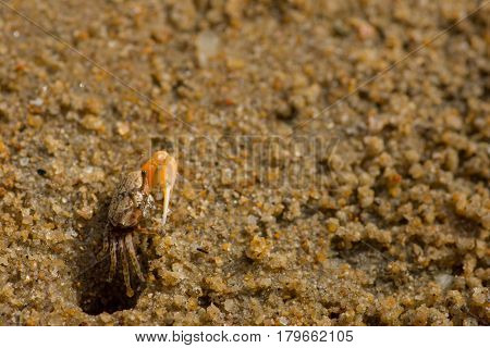 Small fiddler crab appearing cautiously out if its beach hole home.