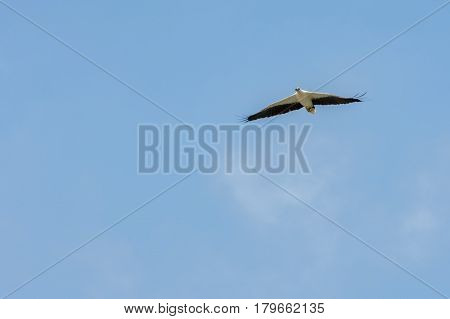 White-bellied Sea-eagle Flying Wings Spread To Blue Sky.