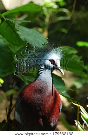 Maroon breasted Victoria crowned pigeon bird with blue-gray feathers and red eyes.