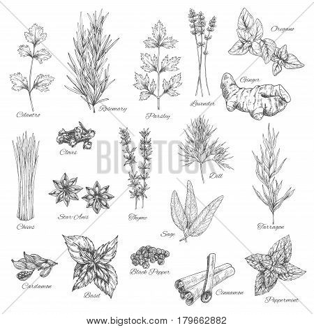 Herbs and spices vector cilantro, rosemary, parsley and lavender, ginger, oregano and cloves, chives, anise, dill, tarragon, sage and cardamom, basil and pepper, cinnamon and peppermint sketch