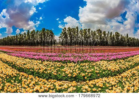The scenic field. Spring in Israel.  The concept of modern agriculture and industrial floriculture. Magnificent multicolored flowering garden buttercups