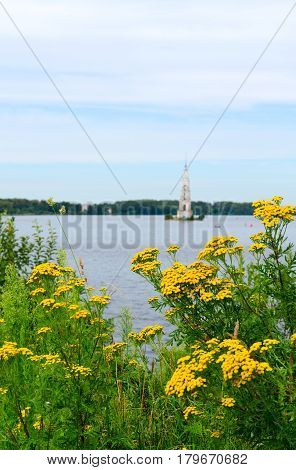 Thickets of flowering tansy on shore of Uglich reservoir (on background flooded bell tower of St. Nicholas Cathedral) Kalyazin