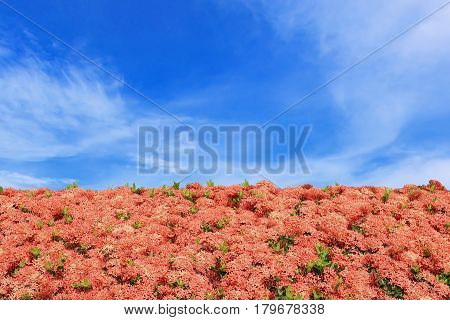 Flower frame red ixora with blue sky background