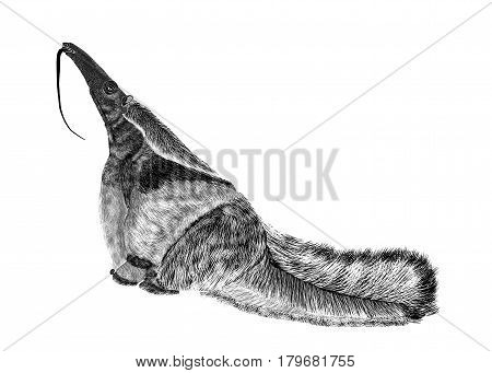Illustration of black textured silhouette giant anteater isolated on white background.