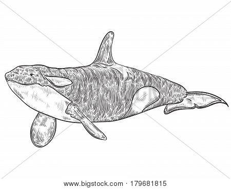 Killer whale. Vintage vector illustration in sketch style
