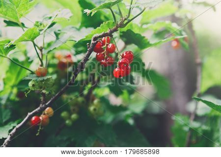 Red currant on a bush closeup, redcurrant in summer garden. Growing berries harvest at farm