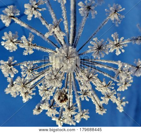 Snowflake from a flower. Frozen flower on a background of the blue sky. Wonders of nature. Beautiful snowflake. Subpolar Urals, Russia.