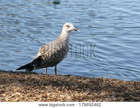 Grey seagull standing near the lake shore