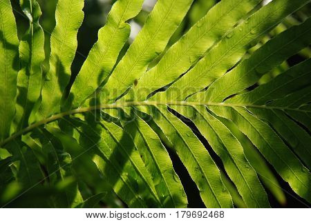 Vegetable fern diplazium esculentum fresh green leave