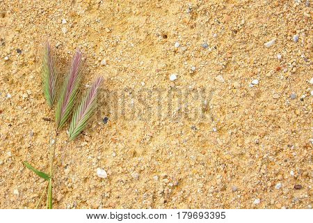 spikelets of wheat on a yellow sand