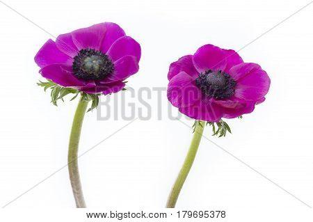Poppy anemones (Anemone Coronaria) on white background