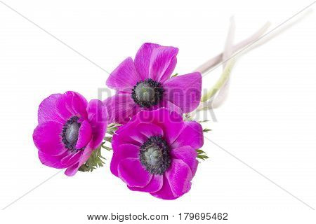 Three Poppy anemones (Anemone Coronaria) on white background