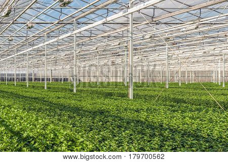 Large greenhouse with lots of little chrysanthemum cuttings at a specialized Dutch chrysanthemum cut flower nursery