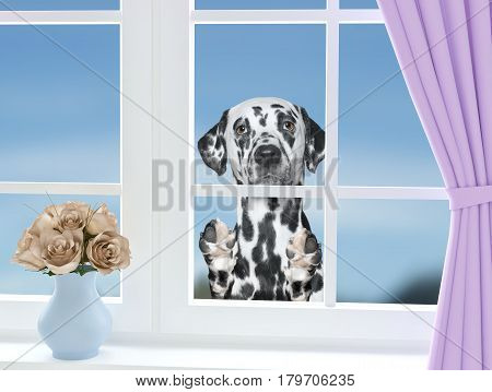 Cute dalmatian dog looking through the window