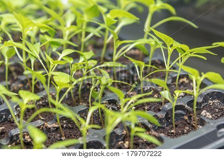 Pepper Seedling Transplants Growing