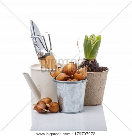 Iris bulbs potted hyacinth and gardening tools isolated on white. Flower bulbs ready for planting. Springtime. Gardening concept.