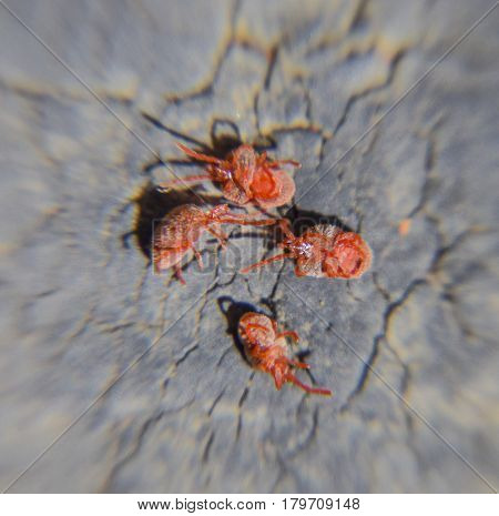 Close Up Macro Red Velvet Mite Or Trombidiidae