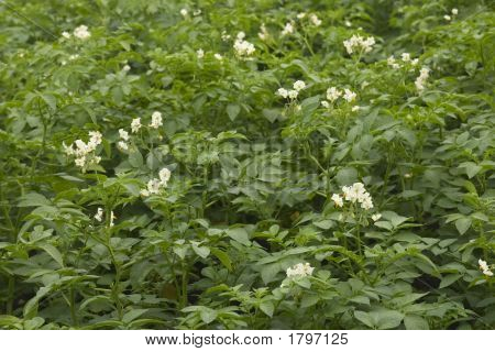 Flowering Potato Plants
