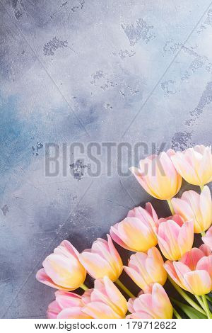 Row of pink and yellow tulips on gray stone background with copy space