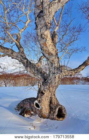 Old birch curve on a background of snowy mountains and blue sky. Subpolar Urals, Russia