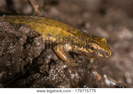 Smooth newt (Lissotriton vulgaris) close up in mud. Adult amphibian in the family Salamandridae walking over land through wet soil
