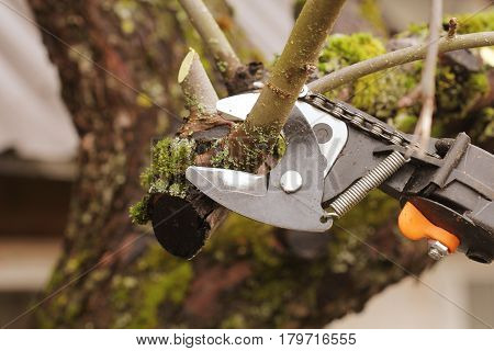 gardener pruning old fruit tree with pruning shears