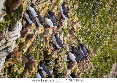 Guillemots cling to cliff face - Bempton Cliffs just north of Flamborough Head on the North Yorkshire coastline is home to many seabirds