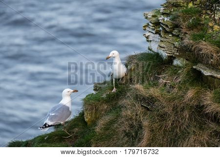 Herring Gull Pair - Bempton Cliffs just north of Flamborough Head on the North Yorkshire coastline is home to many seabirds