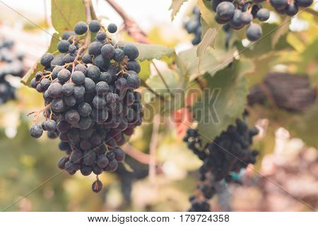 Grapes in vineyard at farm for background