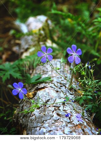 Blue Flowers Of Flax On An Old Log In A Forest