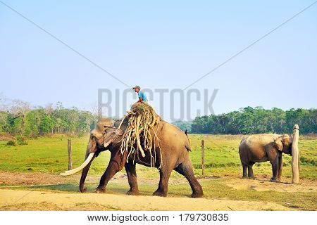 14 March 2014 Man riding male elephant with big tusks at Sauraha near Chitwan National Park Nepal.