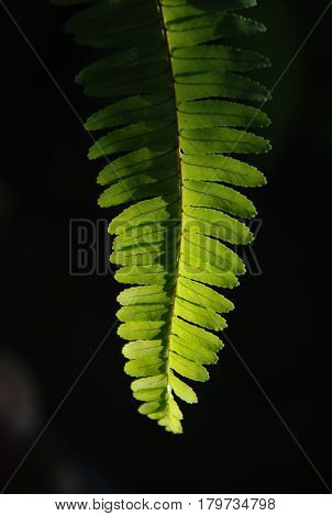 Close up pteridophyta has green leaf  in dimly light all day