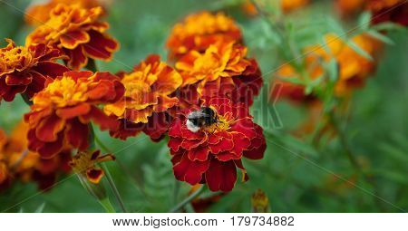 Growing Tagetes patula flower Close Up. Beautiful Natural floral background of Yellow and orange flowers marigold and bumblebee. Summertime. Wide Horizontal Colorful Wallpaper with selective focus.