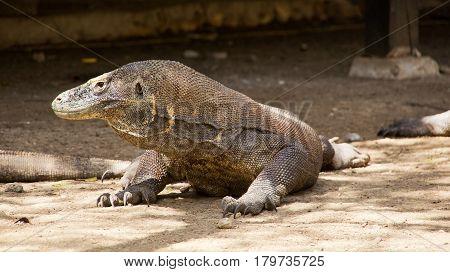 One komodo dragon sitting still looking sideways at komodo national park lndonesia.