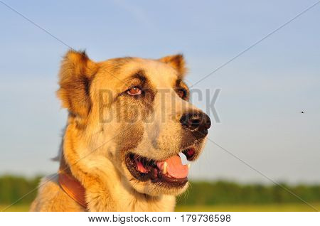 red-white dog sitting on a green field green grass. Animal portrait. Background of the sunset.