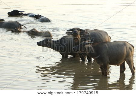 The lifesyle of buffaloes in northern of Thailand in the afternoon