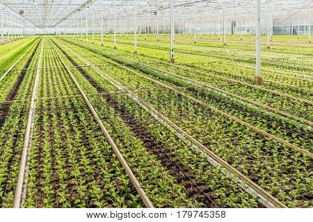 Lots of small chrysanthemum cuttings in the greenhouse of a specialized Dutch chrysanthemum cut flower nursery.