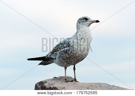 albatross standing rock sky nature bird  beak