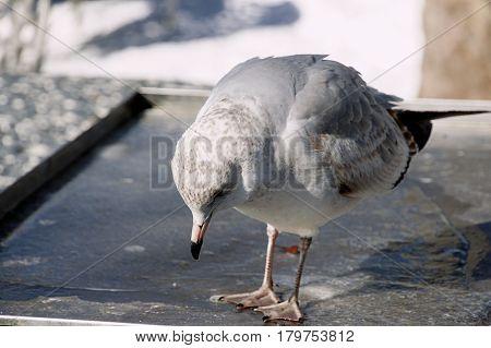 seagull pecking wildlife animal nature bird  closeup